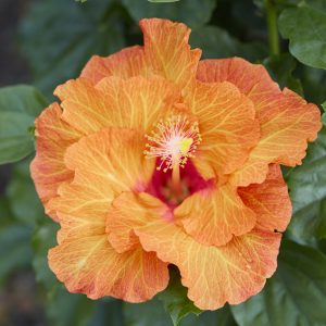 Hibiscus Plants For Sale From Sandys Sandys Nursery Online